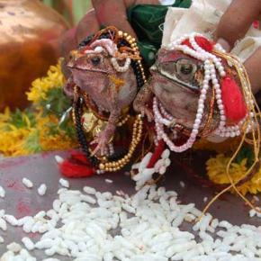 In India anche le rane sisposano.